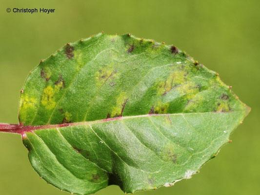 Fuchsienrost (Pucciniastrum epilobii f. sp. palustris)