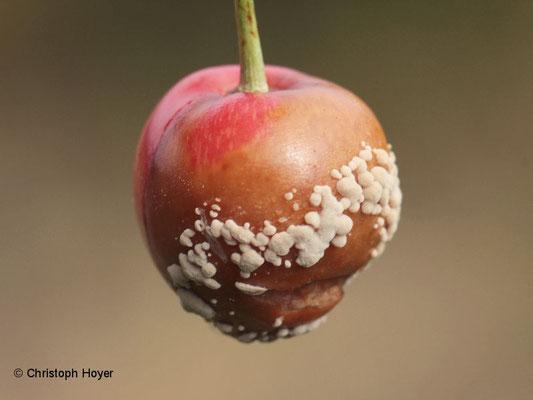 Monilia-Fruchtfäule an Kirsche