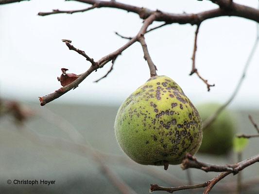 Blattbräune an Quitte - Schadbild Frucht
