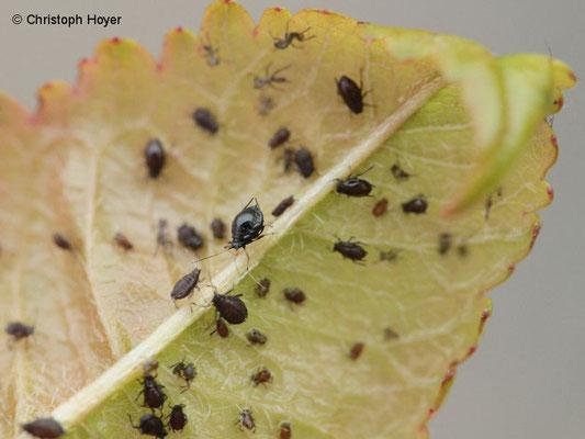 Schwarze Süßkirschenlaus (Mycus pruniavium)