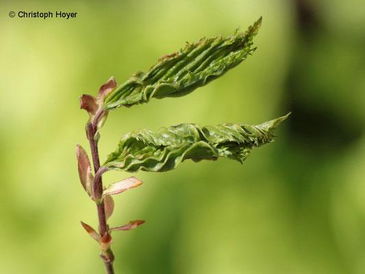 Gallmilben (Eriophyes macrotrichus) an Hainbuche (Carpinus betulus) - Schadbild