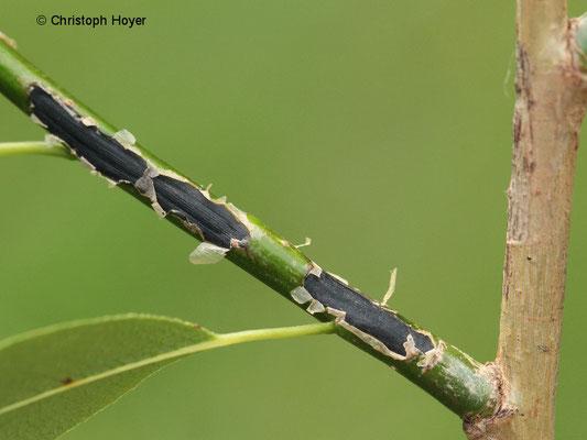 Marssonina-Krankheit an Weide (Salix)
