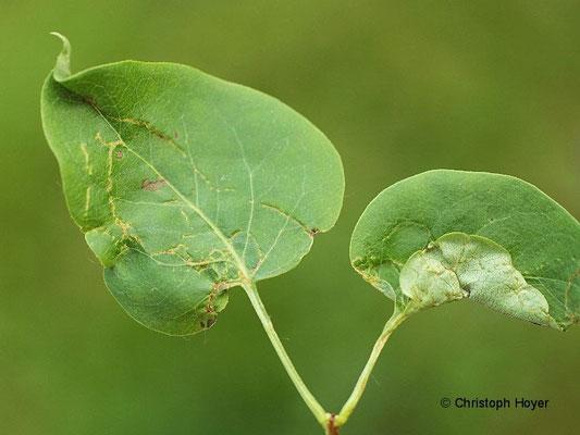 Gallmilben an Flieder (Syringa vulgaris) - Schadbild