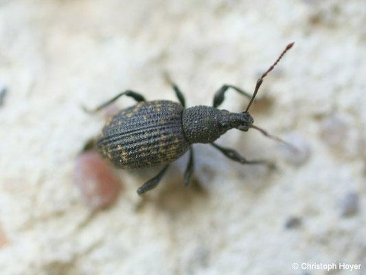 Dickmaulrüssler - Käfer