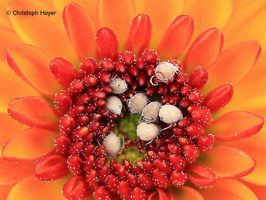 Blattlausmumien an Chrysantheme