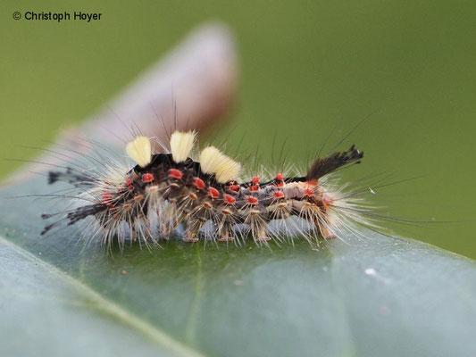 Schlehen-Bürstenspinner (Orgyia antiqua) - Larve