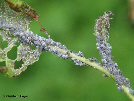Traubenkirschen-Hafer- Blattlaus (Rhopalosiphum padi) an Traubenkirsche (Prunus padus)