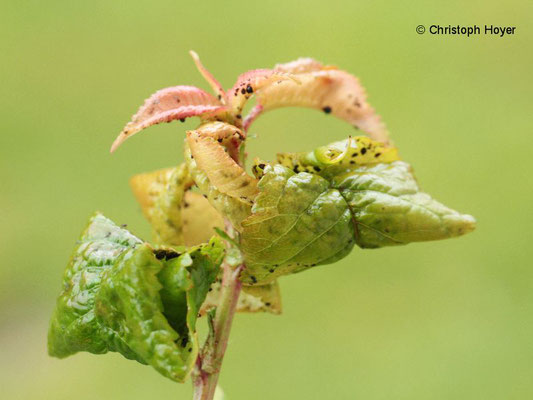 Schwarze Kirschenlaus (Myzus pruniavium, M. cerasi) an Vogelkirsche (Prunus avium)