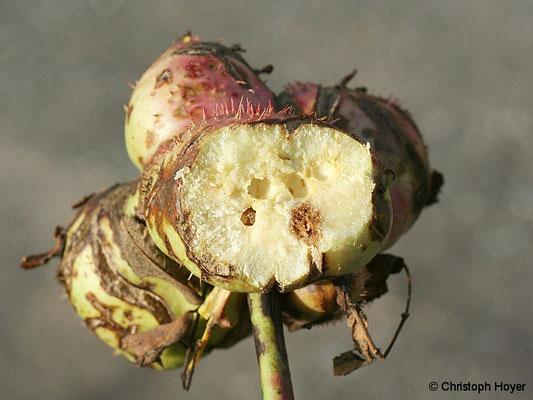 Galle (geöfnet) von Diplolepis mayri an Rosa canina