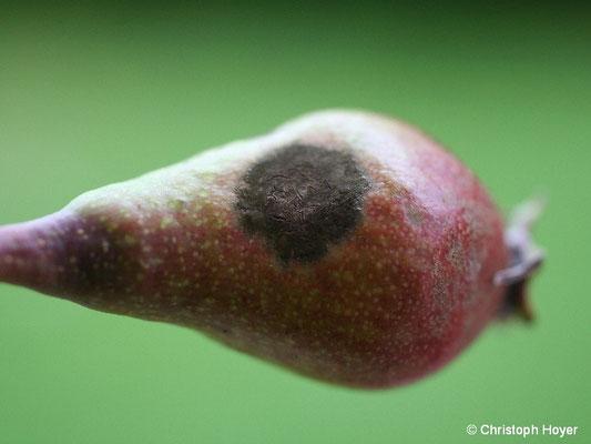 Birnenschorf an junger Frucht