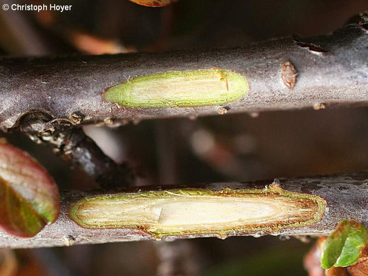 Frostschaden an Cotoneaster - unten Kambiumschäden