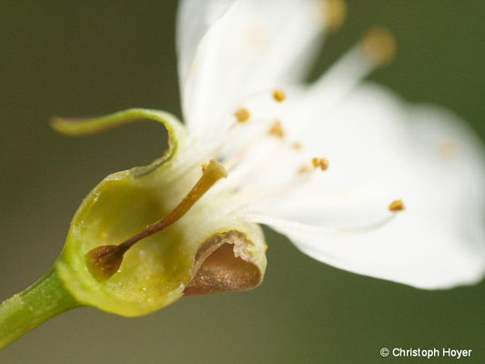 Süßkirsche - Frostschaden an Blüte