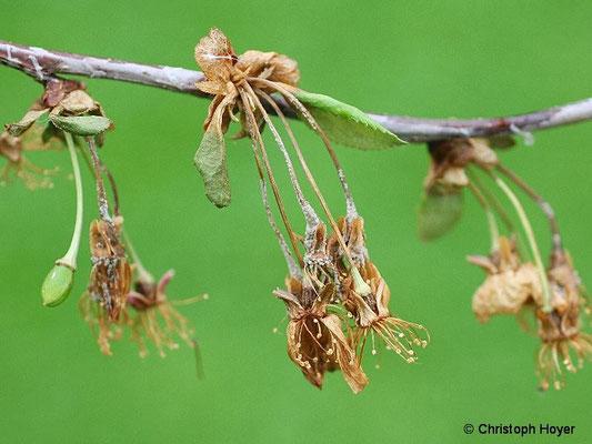 Monilia-Spitzendürre an Sauerkirsche (Frühjahr)