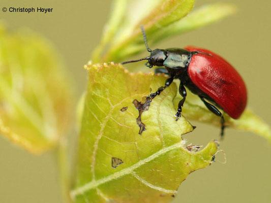 Roter Pappelkäfer (Chrysomela populi)