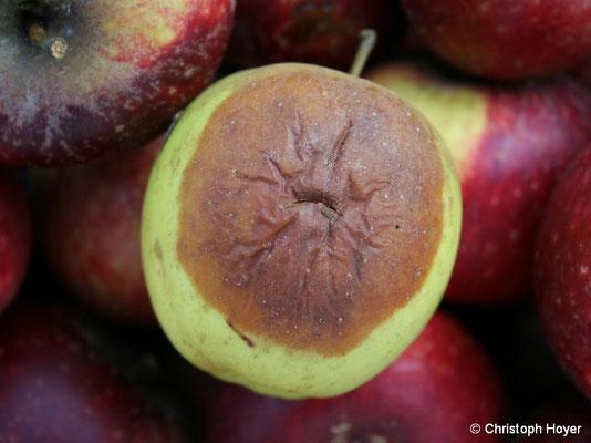 Lagerfäule an Apfel