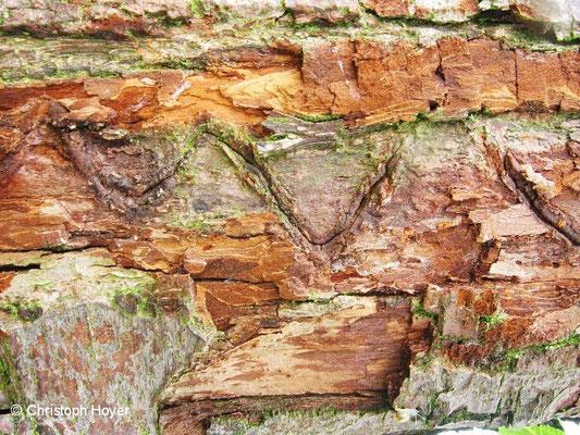 Birnbaumprachtkäfer Fraßgang unter der Rinde