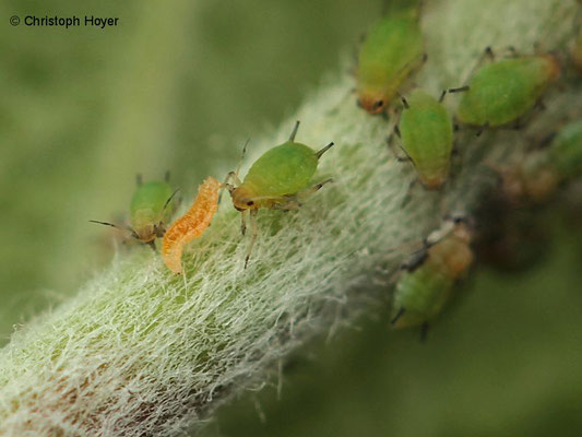Larve der Räuberischen Gallmücke Apidoletes aphididmyza