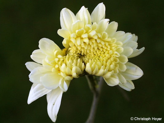 Chrysantheme - Saugschaden durch Wiesenwanze (Lygus pratensis)