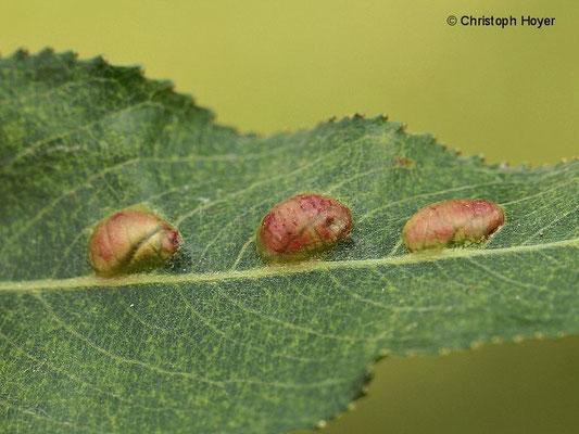 Weidenblattgallwespe (Pontania spec.) - Gallen