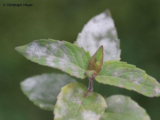 Echter Mehltau (Golovinomyces biocellatus) an Indianernessel (Monarda)