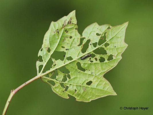 Schneeballblattkäfer (Pyrrhalta viburni) - Schadbild