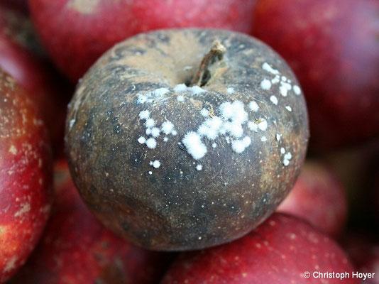 Schwarzfäule (Monilia) an Apfel