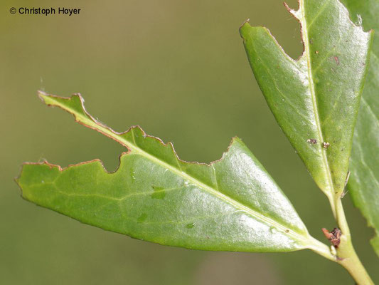 Schlehen-Bürstenspinner (Orgyia antiqua) - Schadbild an Kirschlorbeer (Prunus laurocerasus)