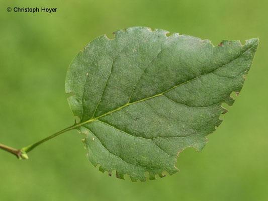 Dickmaulrüssler - Buchtenfraß an Flieder (Syringa vulgaris)
