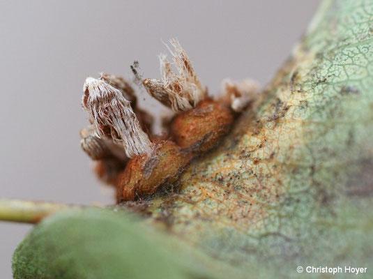 Birnengitterrost - Gitterkörbchen auf der Blattunterseite