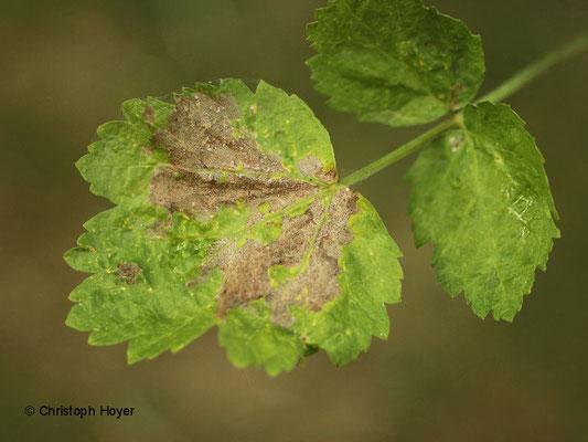 Epermenia chaerophyllella an Pastinake (Pastinaca sativa) - Schadbild