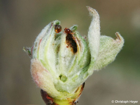 Apfelbütenstecher - Käferfraß an Knospe