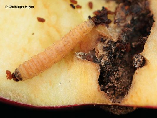 Apfelwickler Larve an Apfel