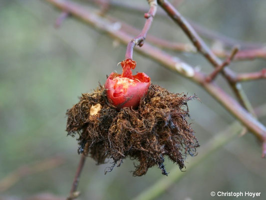 Galle von Rosengallwespe (Diplolepis rosae) - im Winter
