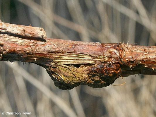 Gallmücke an Himbeere - Schadbild