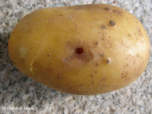 Drahtwürmer an Kartoffel - Schadbild