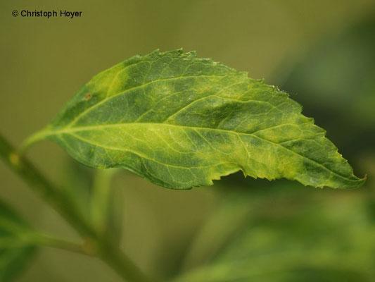 Spinnmilben (Tetranychus urticae) an Forsythie (Forsythia x intermedia) - Schadbild