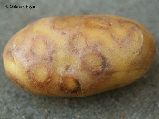 Kartoffel-y-Virus - Schadbild an Knolle