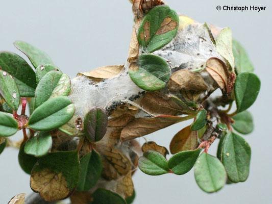 Mispelwickler an Cotoneaster - Schadbild