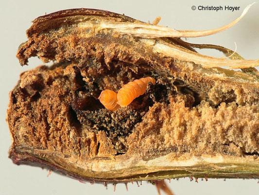 Gallmücke an Brombeere - aufgeschnittene Galle mit Larven