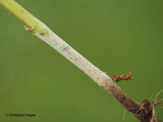 Rhizoctonia solani - Weißhosigkeit