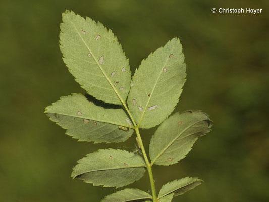 Rosenblattwespe (Cladius difformis) - Schadbild