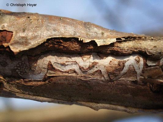 Birnbaumprachtkäfer an Eberesche - Schadbild