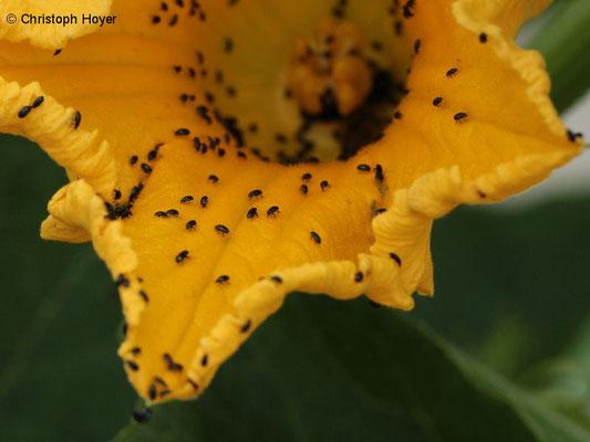 Rapsglanzkäfer an Kürbisblüte