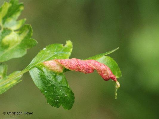 Blattläuse (Dysaphis crataegi) an Weißdorn - Schadbild