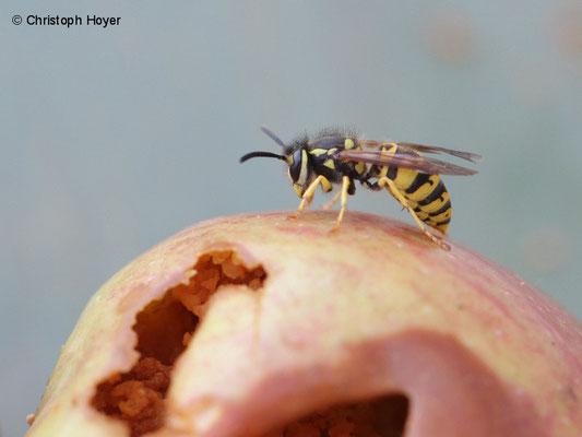 Wespe (Vespula spec.) an Apfel