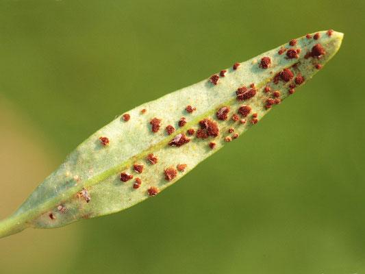 Rost (Puccinia antirrhini) an Löwenmäulchen (Antirrhinum majaus)