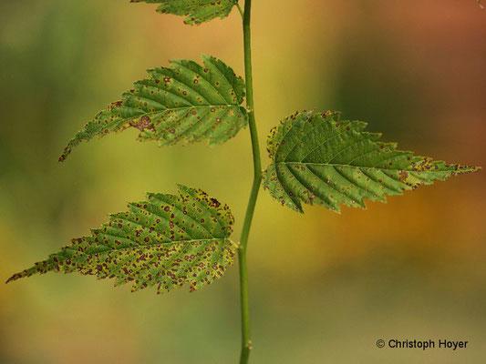 Pilzliche Blattflecken (Blumeriella kerriae) an Ranunkelstrauch (Kerria japonica)