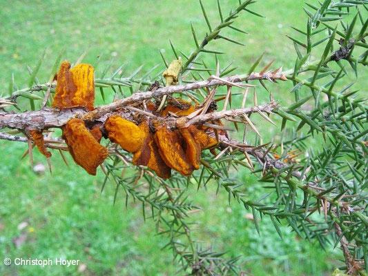 Wacholderblasenrost (Gymnosporangium sabinae) - Sporenmasse