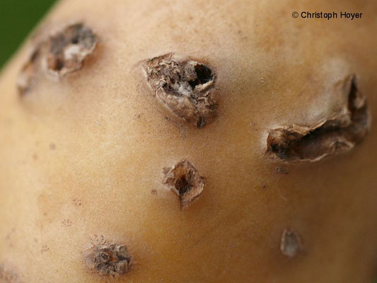 Tiefenschorf (Streptomyces scabies) an Kartoffel