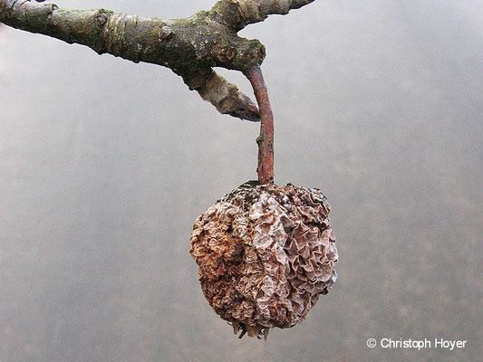 Monilia-Fruchtfäule an Apfel - Fruchtmumie im Winter